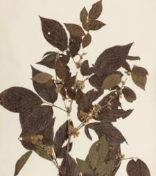 Desmodium cephalotes var. congestum Prain