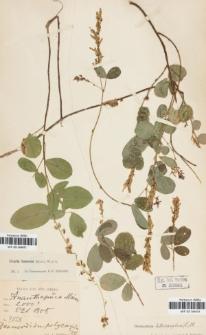 Desmodium polycarpum (Poir.) DC.