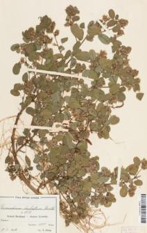 Desmodium barbatum (L.) Benth.