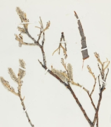 Salix alaxensis (Andersson) Coville