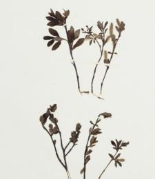 Salix nigricans Sm.