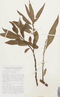 Salix x mollissima Ehrh. ex Elwert