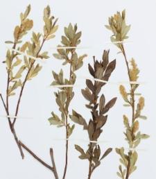 Salix lucida Mühl.