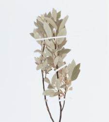 Salix lapponum L.