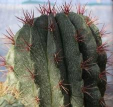 Ferocactus pilosus (Galeotti) Werderm.