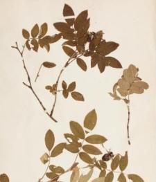 Rosa alpina x coriifolia f. pubescens