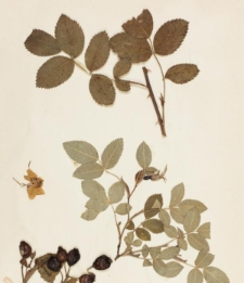 Rosa dumetorum Thuill. var. deseglisei (Bor.) Christ.