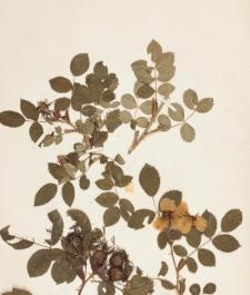 Rosa glauca Vill. var. diodus R.Keller