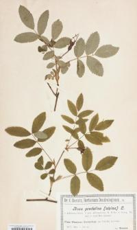 Rosa pendulina L. var. pubescens f. vers. adenophoram R. Keller