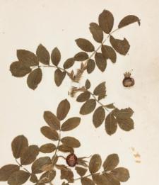 Rosa rugosa Thunberg var. ferox C.A.Meyer