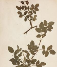 Rosa tomentosa Sm. var. cuspidatoides R.Keller
