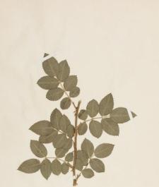 Rosa tomentosa Sm. var. zabelii R.Keller