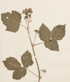 Rubus baenitzii Sudre