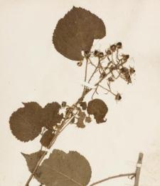 Rubus bellardii Weihe & Nees