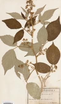 Rubus caucasicus Focke