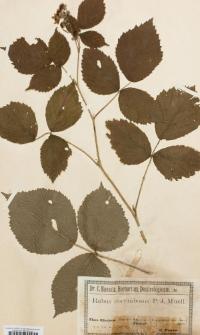 Rubus corymbosus P.J.Müll.