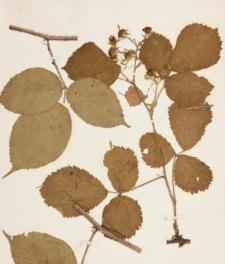 Rubus hirtus Waldst. & Kit. agg.
