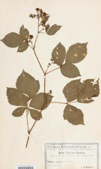 Rubus holsaticus Erichsen