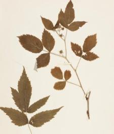 Rubus idaeus L. f. angustifolius Schmidely