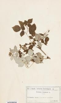 Rubus idaeus L. f. inermis