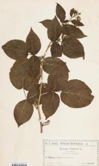 Rubus idaeus L. f. turianigena