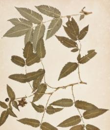 Rubus illecebrosus Focke