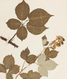 Rubus macrostemon Focke