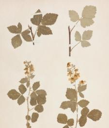 Rubus meridionalis A.Kern.