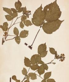 Rubus spinifer Sudre