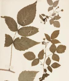 Rubus strigosus Michx.
