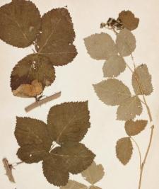 Rubus vespicum Müll.