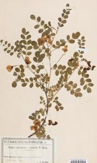 Colutea arborescens x orientalis K. Koch