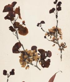 Cercis siliquastrum L.