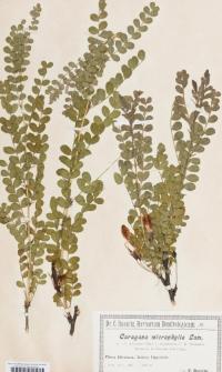Caragana microphylla var. megalantha C. K. Schneid.