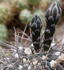 Gymnocalycium hybopleurum (K. Schum.) Backeb.