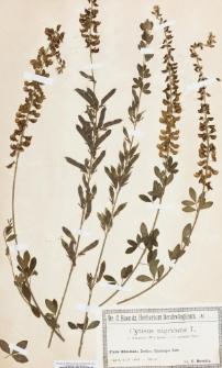 Cytisus nigricans L. var. elongatus Willd.