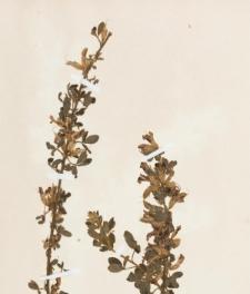 Cytisus leucotrichus Schur