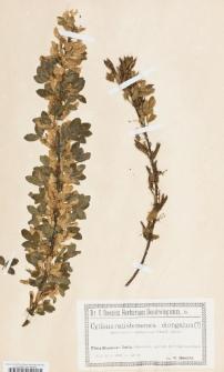 Cytisus ratisbonensis x elongatus