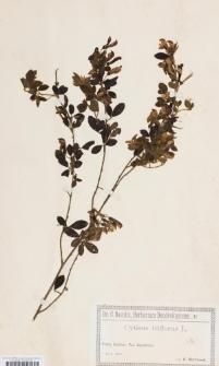Cytisus triflorus Lam.