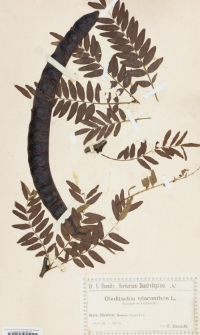 Gleditsia triacanthos L.