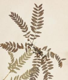 Gleditsia triacanthos L. f. inermis Willd.