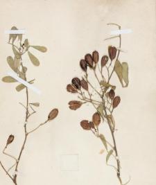 Halimodendron argenteum Fisch.