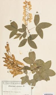 Laburnum alpinum (Mill.) Bercht. & J.Presl var. macrostachys (Wettst.) Koehne