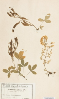 Laburnum vulgare J.Presl