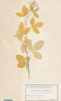 Laburnum vulgare Gr. f. chrysophyllum
