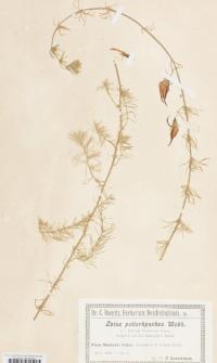 Lotus peliorhynchus Webb.