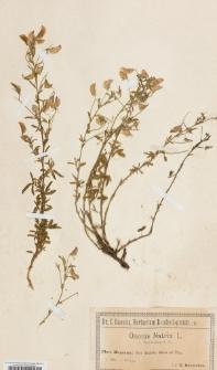 Ononis natrix L. var. peyrousiana G. G.