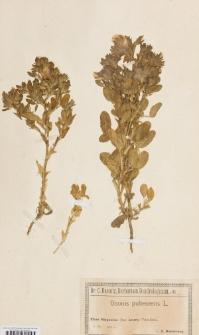 Ononis pubescens L.