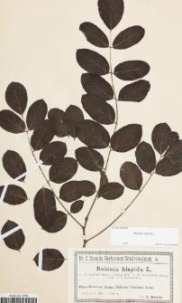 Robinia hispida f. glabra Hort.