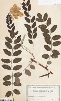 Robinia neomexicana A.Gray